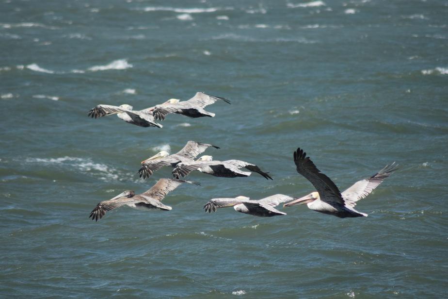 Pelicans At Municipal Pier AquaticPark