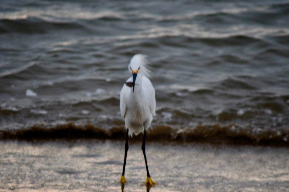 Snowy Egret GoneFishing